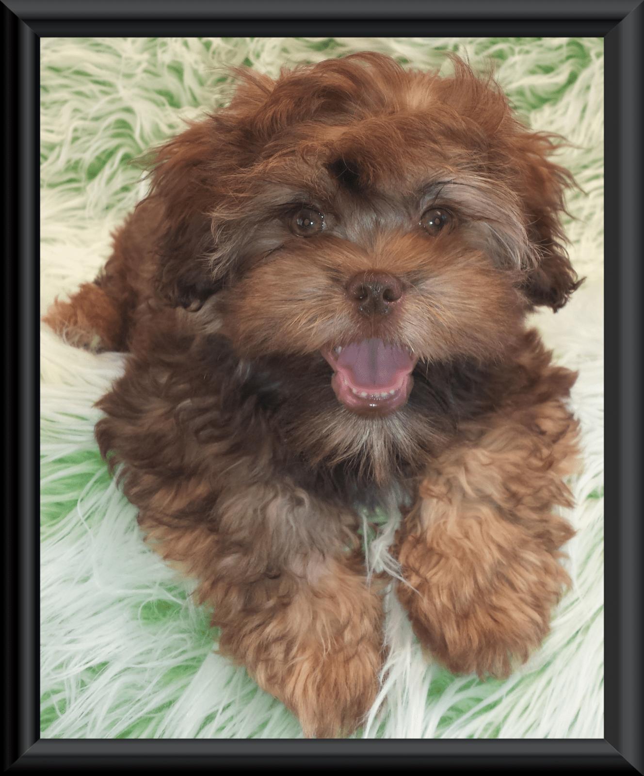 Teddy Bear Zuchon Puppies Shichon Shih Tzu Bichon Rare